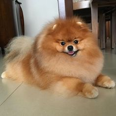 Pomeranian – Bold and Inquisitive Cute Dogs And Puppies, Baby Dogs, Doggies, Zee Dog, Cute Pomeranian, Dog Hotel, Golden Retriever, Beautiful Dogs, Cute Baby Animals