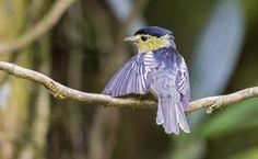 Pachyramphus versicolor - Barred Becard