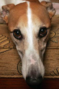 adopt a greyhound.
