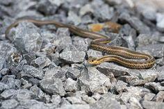 Que faut-il faire, et ne pas faire, en cas de morsure de serpent ?