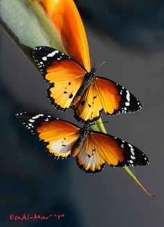 ~~Danaus chrysippus butterfly by Juan Ramon~~