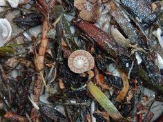 Button Seashell Sanibel Island