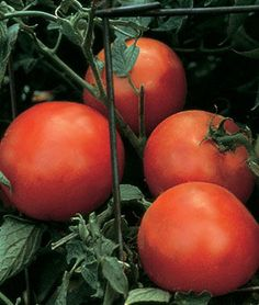 large 6 to 8 oz ruby red tomatoes!!! Cobra F1 Hybrid Tomato Seeds
