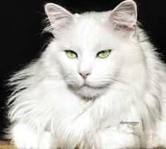 The Majestic Maine Coon