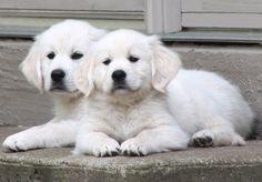 OMG. Give them to me now. they look like little polar bears. English Cream Golden Retriever Puppies.