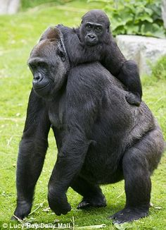 Damian Aspinall with his daughter Tansy and some gorillas (including Sangha) at Howletts Zoo in Kent
