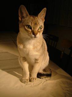 SINGAPURA   Descripción  El más ligero de los gatos domésticos Singapura, nombre malayo de la isla de Singapur, designa a un verdadero gato común que vive en las calles de la capital.