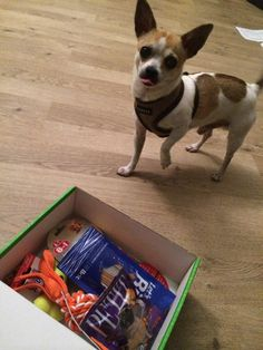 Chico - DoggieBag.no #DoggieBag #Hund #Hunder #Dog #Chihuahua