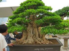 BonsaiBonsaiIdeas More Pins Like This At FOSTERGINGER @ Pinterest Bonsai Ficus, Indoor Bonsai, Bonsai Plants, Bonsai Garden, Garden Trees, Bonsai Trees, Small Gardens, Outdoor Gardens, Mini Plantas