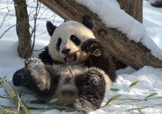 Cool Cute Pandas – ArtPics © Jutta Kirchner http://www.designsnext.com/?p=29582