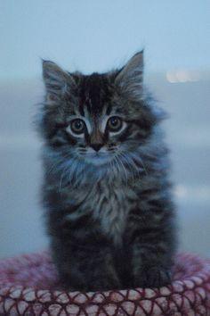 #kitten #cat #fluffy
