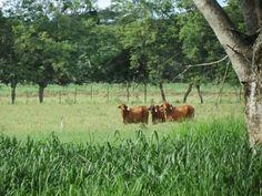 ¿Qué les parece la idea de crear un gran distrito de carne en Córdoba? La calidad genética de los animales de la zona y la fortaleza del sector, hacen del departamento una región ideal para implementar este proyecto.  #Brahman