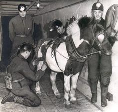 Posed 'photo of Bevin Boys training to work with a pit pony. It is some illustration of the conditions in coal mines of the day that little equines such as this were the usual means of non-human traction in deep underground mines. The ponies had it even worse than the Boys; they rarely saw the light of day at all.