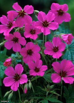 deer resistant Hardy Geranium (Geranium Patricia) - just planted some in my side garden today. Love when friends give me flowers. Malva, Geranium Vivace, Hardy Geranium, Side Garden, Plantar, Colorful Garden, Plantation, Dream Garden, Gardens
