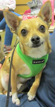 Checkers is a 3 year old male Chihuahua. He weighs 7 lbs. Checkers is a very sweet, loving little dog. He gets along great with other dogs. His adoption fee is $150 which includes neuter, shots, heartworm test and dewormingIF YOU ARE INTERESTED IN...