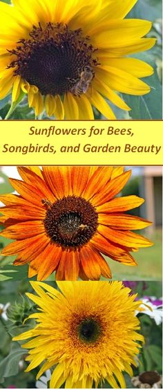 Here are some of the best sunflowers to grow for #bees, song #birds, and gardens. #honeybees #savethebees