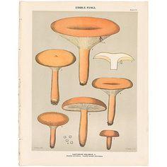 Charles Peck antique 1895 botany print of mushroom, fungi, Pl 30 Lactarius