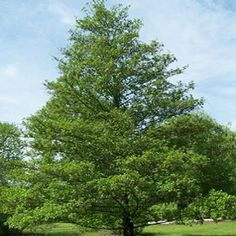 ScotPlants Direct is a local supplier of Alnus Glutinosa Tree Alder Moist Areas Pot. Shop our range of plants and trees online directly from ScotPlants Direct in Fife, UK Alder Tree, Deciduous Trees, Early Spring, Hedges, Country Roads, Garden, Plants, Beautiful, Beginning Of Spring