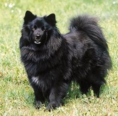 Swedish Lapphund / Svensk lapphund Puppy Dog