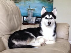 Love this regal Siberian Husky pose