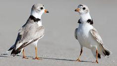 Lawsuit to Protect Piping Plovers at Jones Beach Will Proceed   American Bird Conservancy