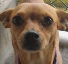 Adopt Bristol, a lovely 2 years 8 months Dog available for adoption at Petango.com. Bristol is a Chihuahua, Short Coat / Mix and is available at the Valley Oak SPCA in VISALIA, CA