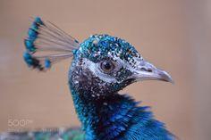 Peacock..... by bahallavi #animals #animal #pet #pets #animales #animallovers #photooftheday #amazing #picoftheday