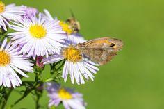 #Dusky #Brown #Meadow #Butterfly On #Wild #Chrysanthemum @123rf #123rf #nature #green #macro #closeup #details #flowerpower #flowers #stock #photo #download #portfolio #hires #royaltyfree