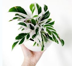 I present to you my new Calathea White Fusion! My plant bff gave this to me as a birthday present and I cannot be more excited! House Plants Decor, Plant Decor, Indoor Garden, Garden Plants, Calathea Plant, Plantas Indoor, Decoration Plante, Inside Plants, Pot Plante