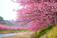 paisajes japoneses: Rosa flor del cerezo, Kawazu cerezo en Shizuoka, Japón