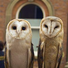 owlsday:  Barn Owls   #Fbf