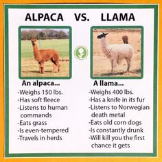 Llamas VS Alpacas: Learn The Difference - World's largest collection of cat memes and other animals Alpaca Vs Llama, Alpaca Funny, Llama Meme, Llama Facts, Llama Llama, Baby Llama, Lama Animal, Cat Memes, Funny Memes