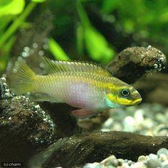 Pelvicachromis taeniatus Lokoundje female