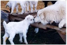 Maremma Sheepdog looking after his baby goats; be still my beating heart!! LOVE!