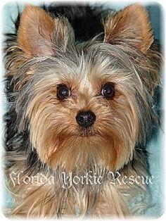 Palm City, FL - Yorkie, Yorkshire Terrier. Meet J.R. a Dog for Adoption.