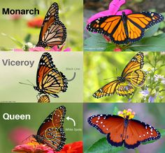 Each spring I search desperately in butterfly gardens, hoping to catch a glimpse of a monarch butterfly. I'll admit, there are a few butterfly species that trick me. The viceroy and queen butterflies are easy to confuse with monarchs. This guide and quiz will hopefully help you (and me) improve iden...