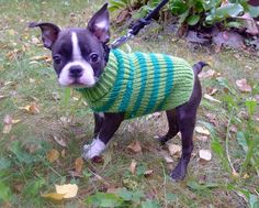 Normally opposed to animal clothing. this #bostonterrier pup in a sweater is a total exception!