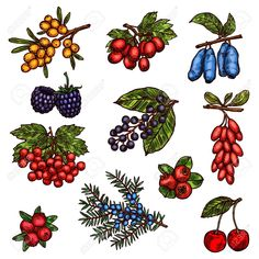 Farm garden and wild forest berry fruits Stock Vector - 105323481