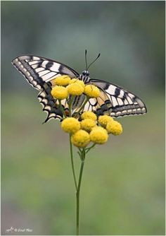 """Butterfly .       (""""Iphiclides podalirius."""")"""