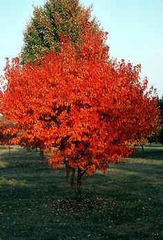 Amur maple shrub (small tree)  beautiful fall color. Now to decide where to plant it!