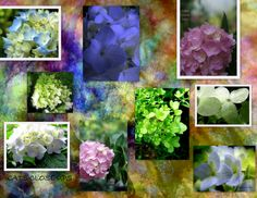 Hydrangeas & Butterfly Wings  Collage by: Catherine Chambers  Cats Close Ups <3