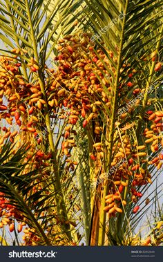 Picture of Senegal date palm tree with mounds of ripened fruit in the . Fruit Plants, Fruit Trees, Palm Trees, Orchid Tree, Fresh Dates, Beautiful Fruits, Cellphone Wallpaper, Morning Light, Botanical Gardens