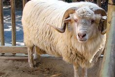 Domestic Sheep | Navajo-Churro - Domestic Sheep Breeds Reference Library - redOrbit
