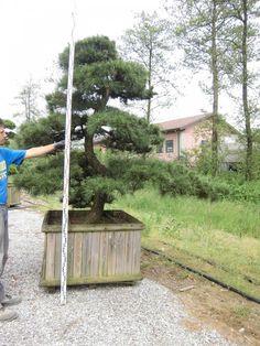 Pinus nigra thunbergii (Pin noir) | benvenuti su nippontree FRA | nippontree.it
