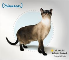 Did you know the Siamese cat's first appearance outside of Asia is in dispute? Read more about this breed by visiting Petplan pet insurance's Condition Checker!