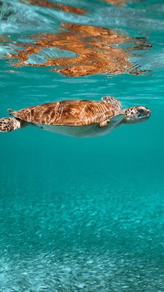 The latest iPhone11, iPhone11 Pro, iPhone 11 Pro Max mobile phone HD wallpapers free download, turtle, animal, underwater world, water - Free Wallpaper | Download Free Wallpapers