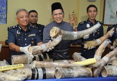 KLIA Customs director Datuk Chik Omar Chik Lim showing African elephant tusks during a press conference after Customs foiled an attempt to smuggle a ton of ivory worth more than RM10 million at KLIA, Sepang, Aug 1, 2016. — Bernama pic