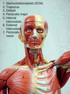 Anterior_face_and_neck Body Anatomy, Anatomy And Physiology, Occupational Therapy, Massage Therapy, Animal Crossing, Sphenoid Bone, Fun Facts, Muscle, Medical