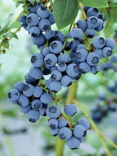 Toro Blueberry Bush Produces Bumper Crop
