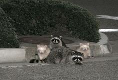 Albino Raccoon family